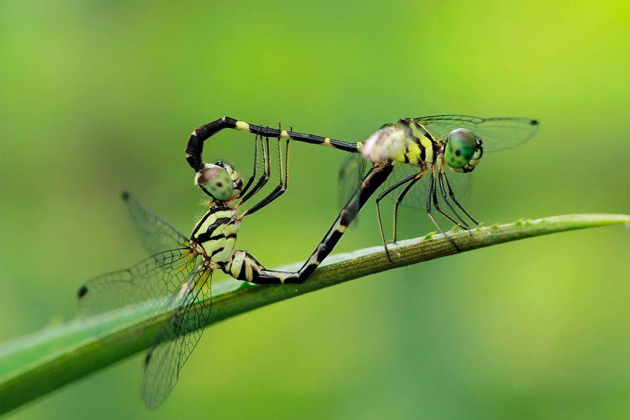 Libélulas apareándose en Manado, Indonesia. Las libélulas macho tienen dos grupos de genitales.