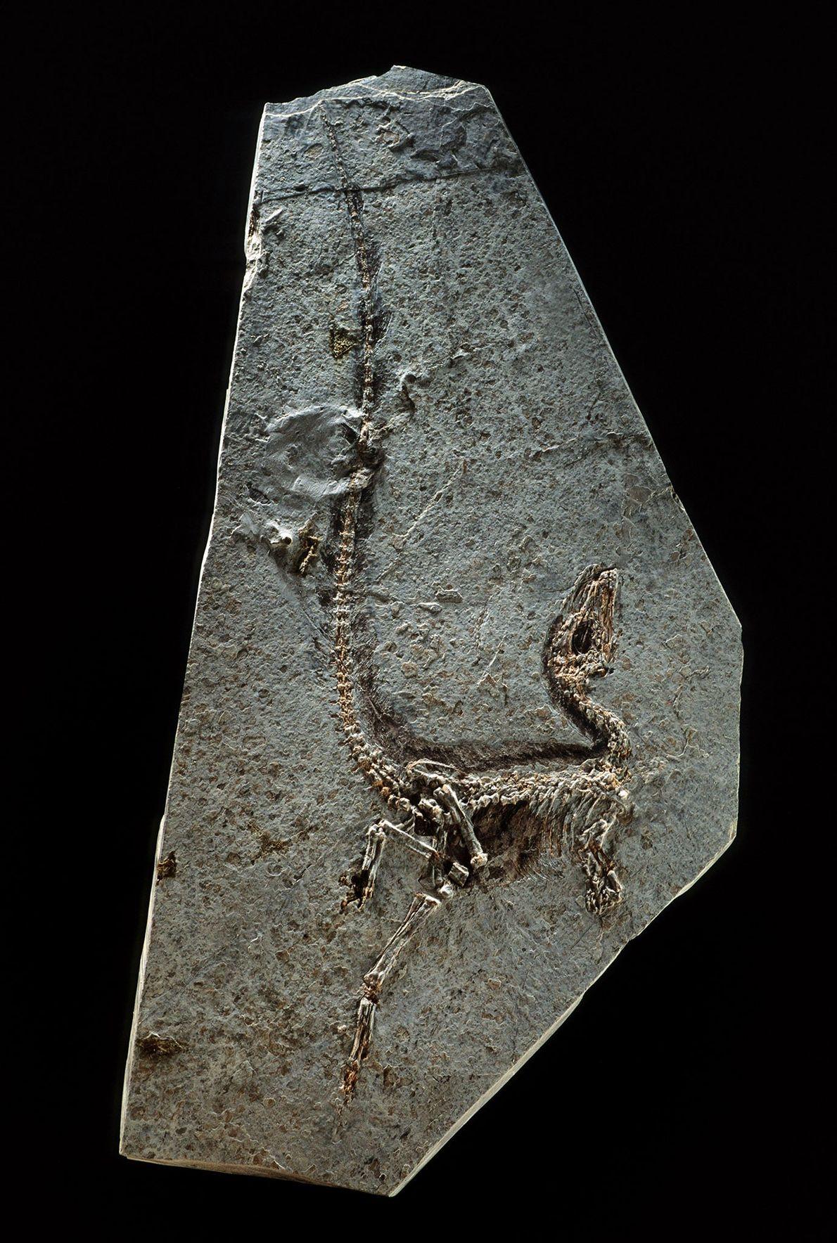 """El """"Sinosauropteryx prima"""", de la provincia china nororiental de Liaoning, fue hallado en 1996 y se ..."""