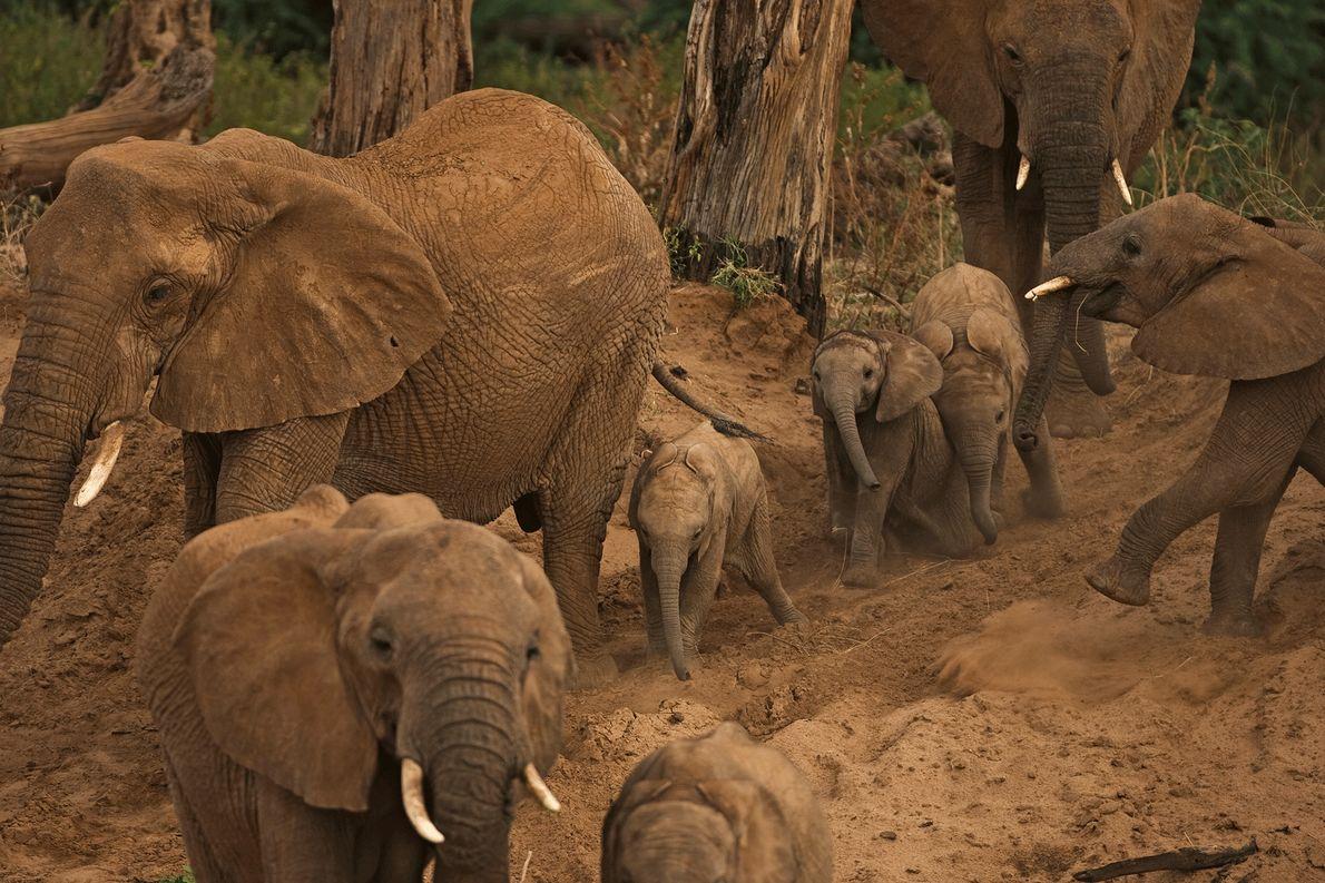 Una familia de elefantes, incluyendo recién nacidos, busca agua en Samburu.