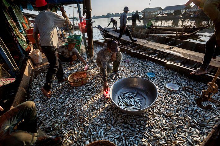 Los peces desbordan el tan rico en nutrientes lago Tonlé Sap durante la temporada seca, cuando ...