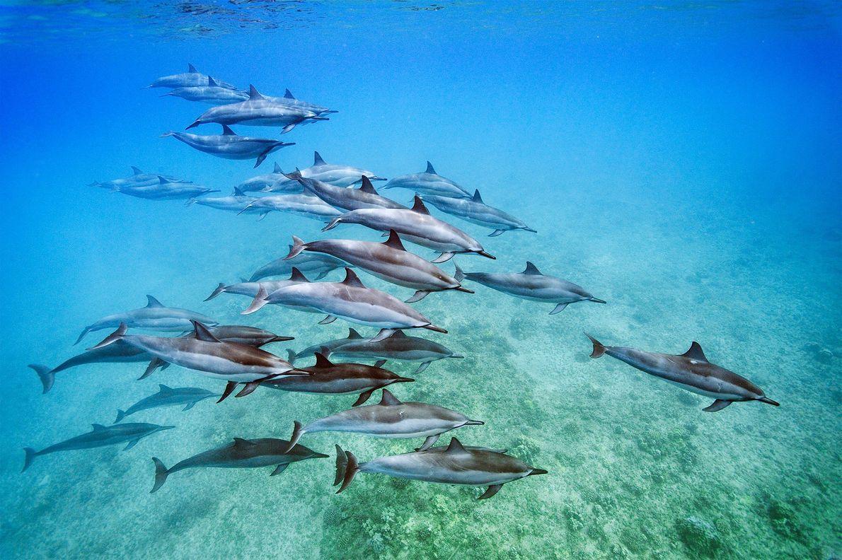 Los delfines giradores (Stenella longirostris), vistos en Oahu, Hawái, son conocidos por saltar fuera del agua ...