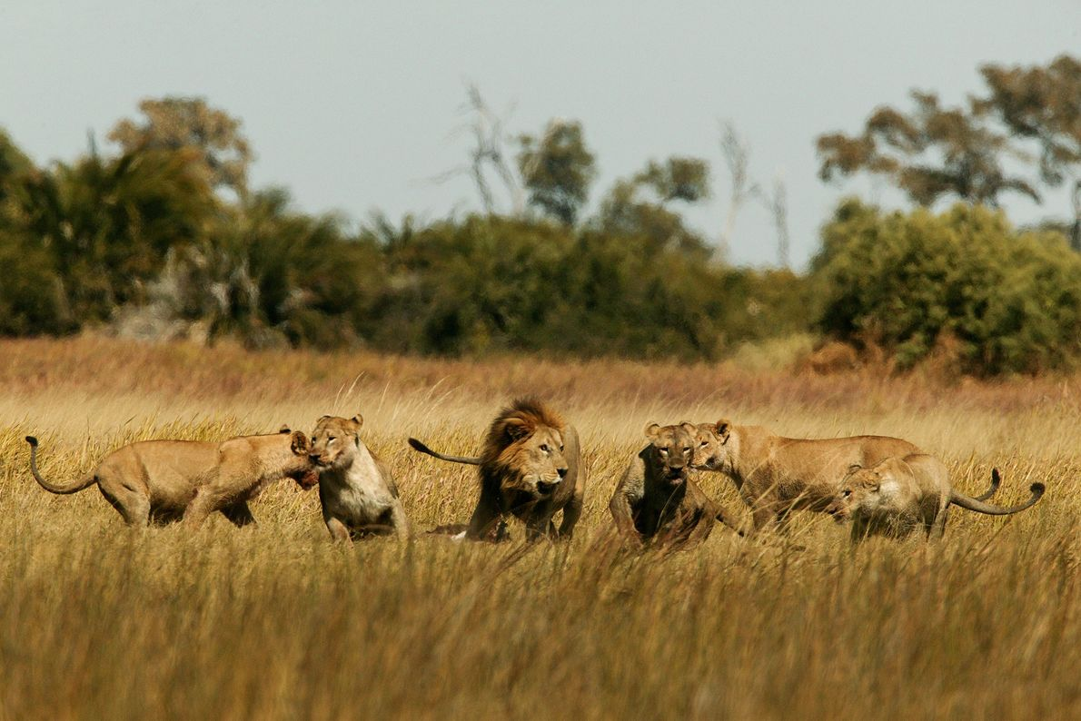 Unos leones juegan en el delta del Okavango.