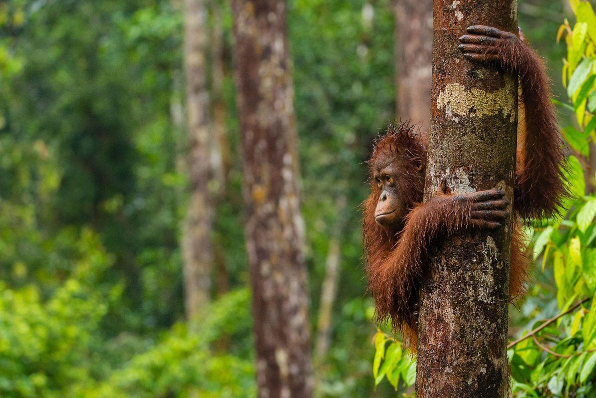 Tras una tormenta, un orangután de Borneo se aferra a un árbol en el Campamento Leakey.