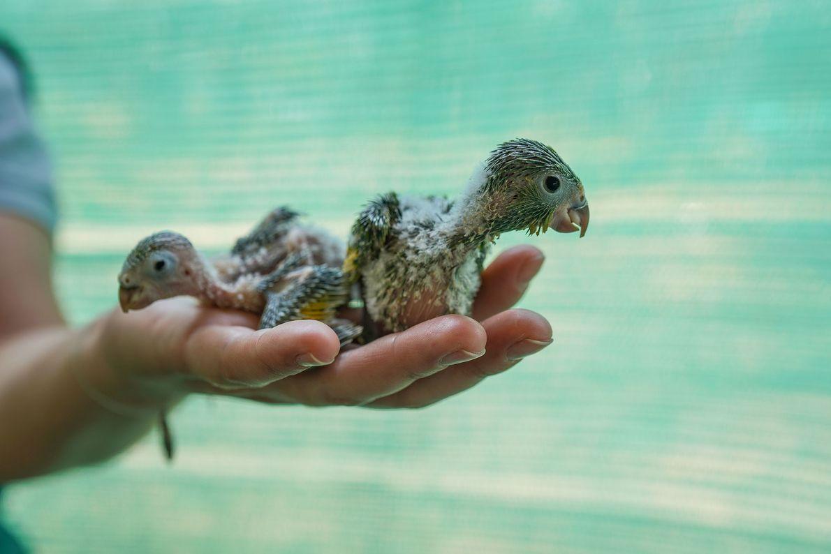Loros bebés reciben atención y cuidado en el centro de rescate de Aguas Calientes. Fueron salvados ...