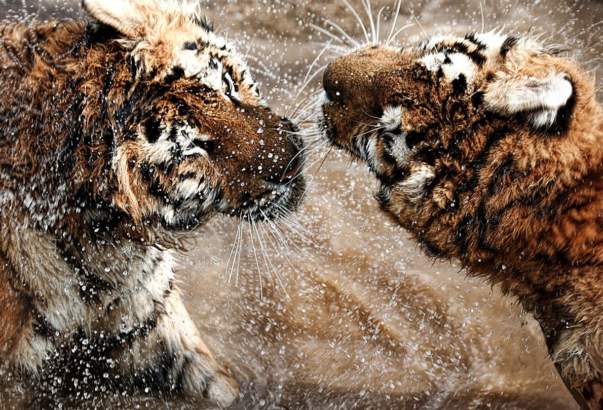 Tigres siberianos se pelean en Hungría.
