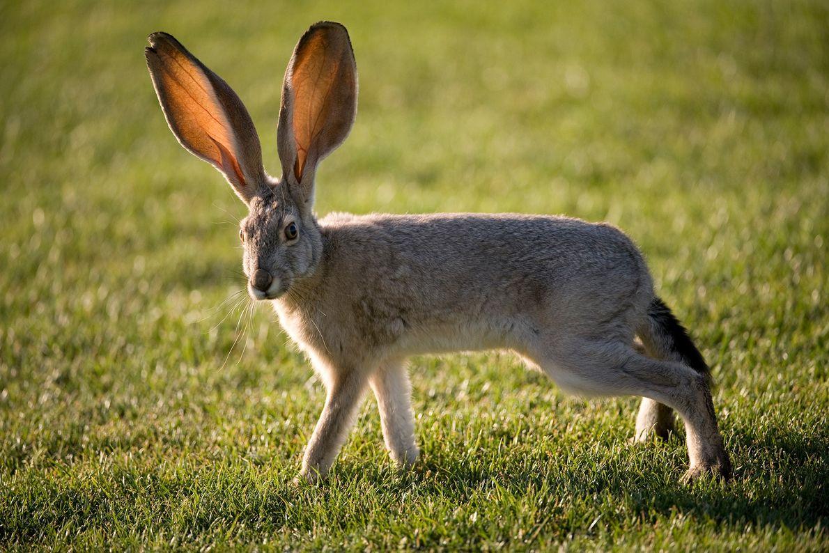 La liebre norteamericana combate el calor del desierto gracias a sus orejas gigantescas. En la foto, ...