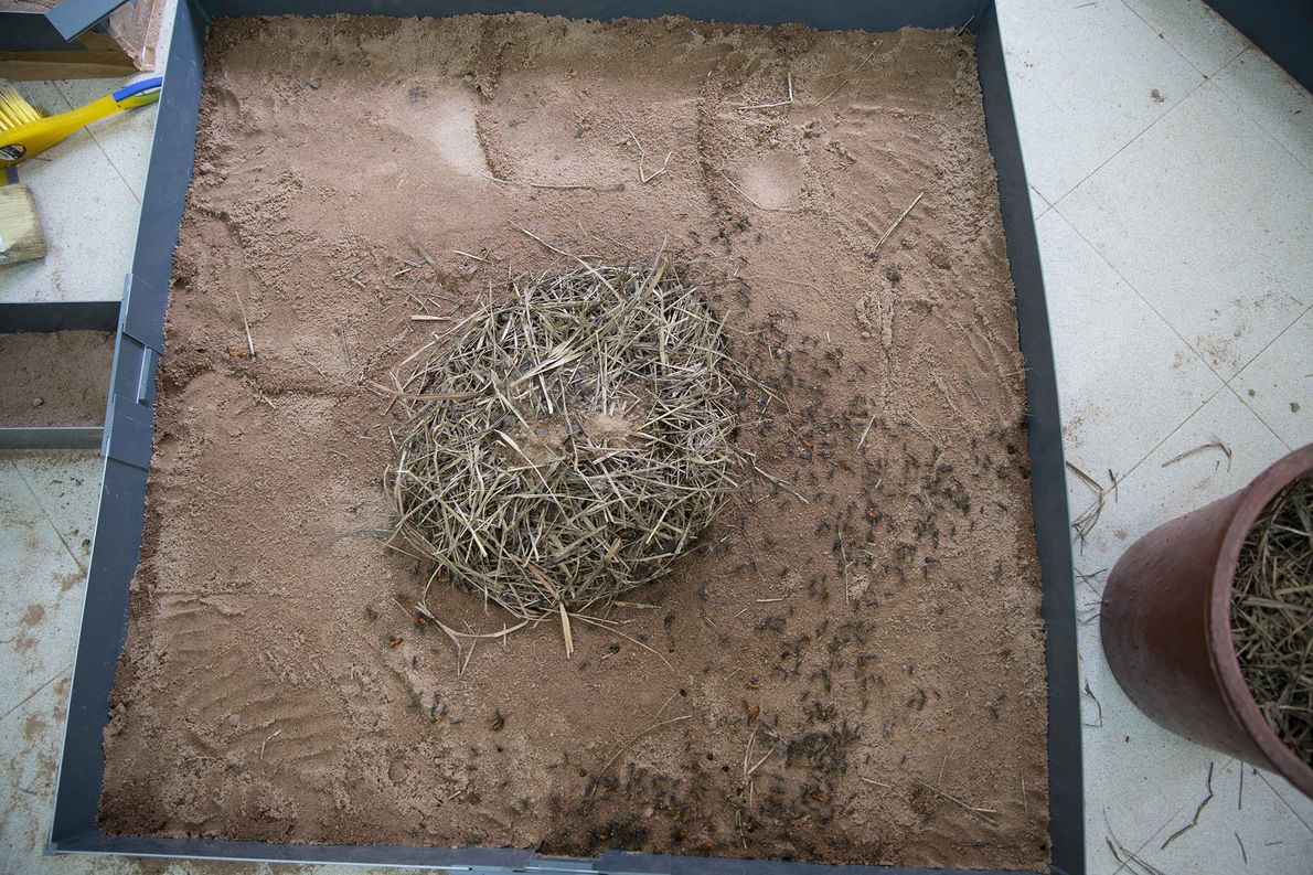 Researchers observed ants' raid on termites in the lab by placing the termites in a mound ...