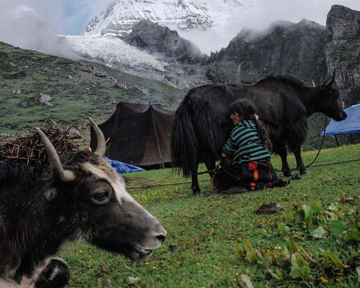 Tshering Om, de 43 años, ordeña un yak en el campamento de verano de su familia. ...