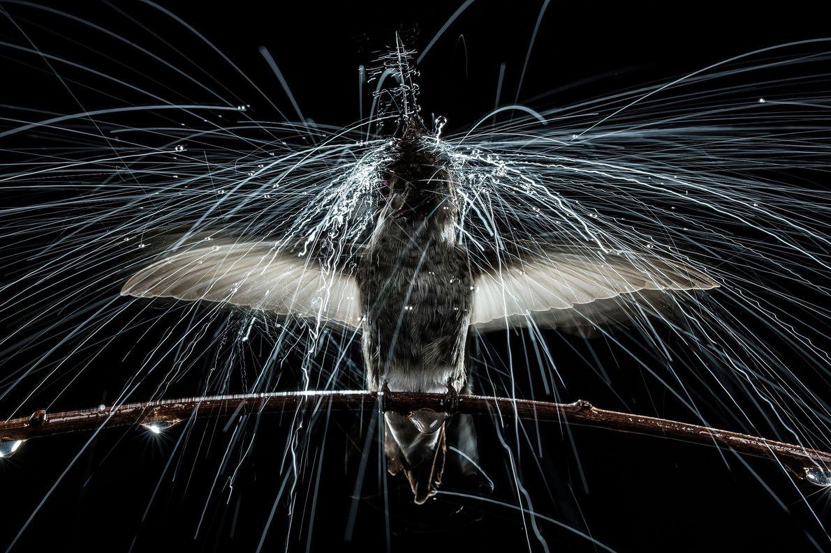 Colibrí de Ana sacudiéndose bajo lluvia simulada. Universidad de California, Berkeley, Estados Unidos.
