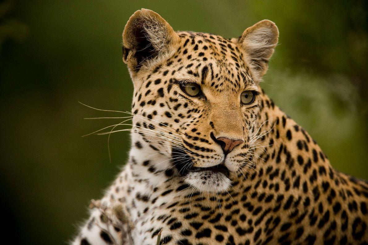 """Retrato de un leopardo (""""Panthera pardus"""") relajado pero alerta en Chiefs Island, en el Delta del ..."""