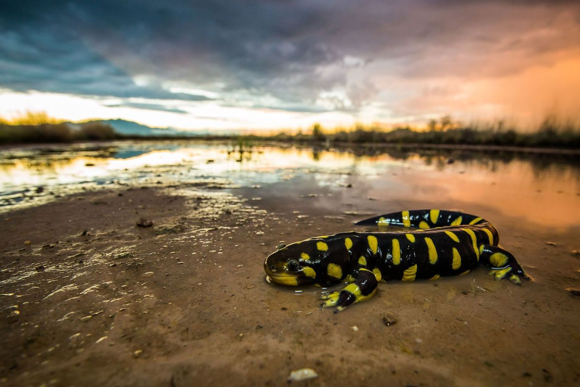Salamandra tigre. Willcox, Arizona, Estados Unidos.