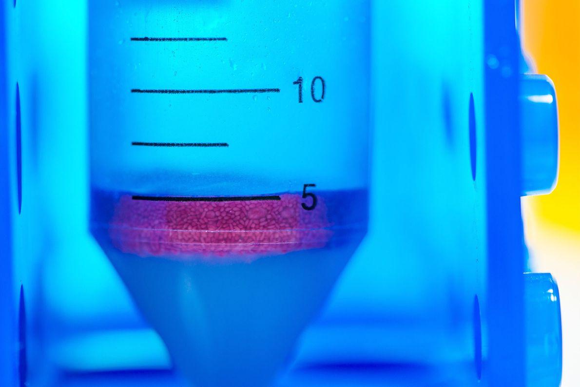 Por ahora, los investigadores solo congelan el esperma del coral, ya que es difícil congelar los ...