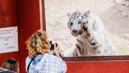 """En un zoológico de Francia, una mujer fotografía a un tigre blanco. Un cartel dice """"no ..."""