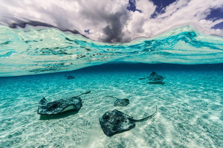 Unas rayas nadan cerca de la isla Gran Caimán.