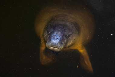 Otro mamífero en las aguas de la cuenca es el manatí amazónico (Trichechus inunguis), que se ...