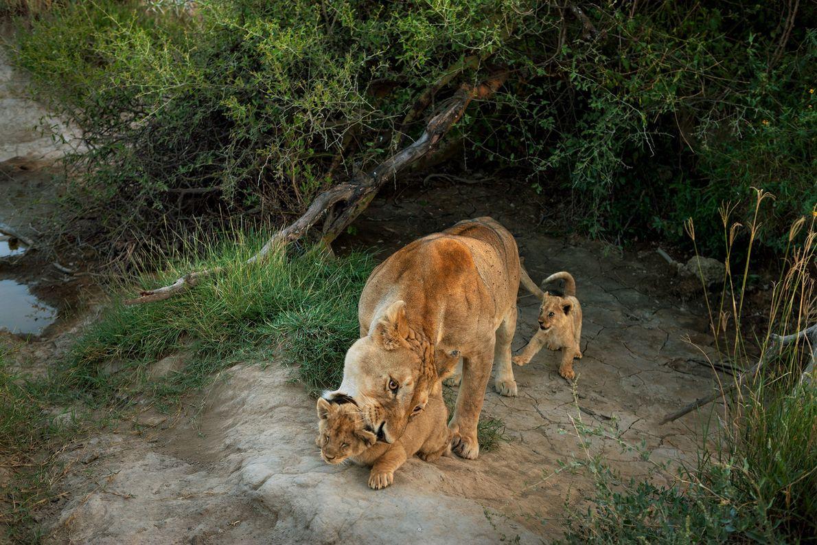 Una leona de la manada de Barafu en el Parque Nacional del Serengeti pelea a sus ...