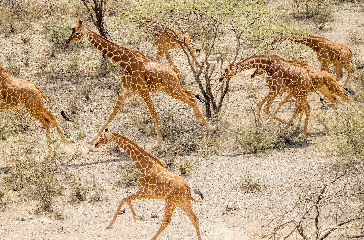 Una manada de jirafas reticuladas corre en el Leparua Community Conservancy, al norte de Kenia. En ...