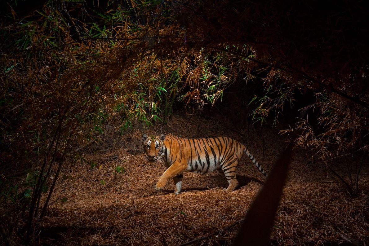 Una cámara remota sacó esta foto de un tigre de Indochina en un bosque de bambú.