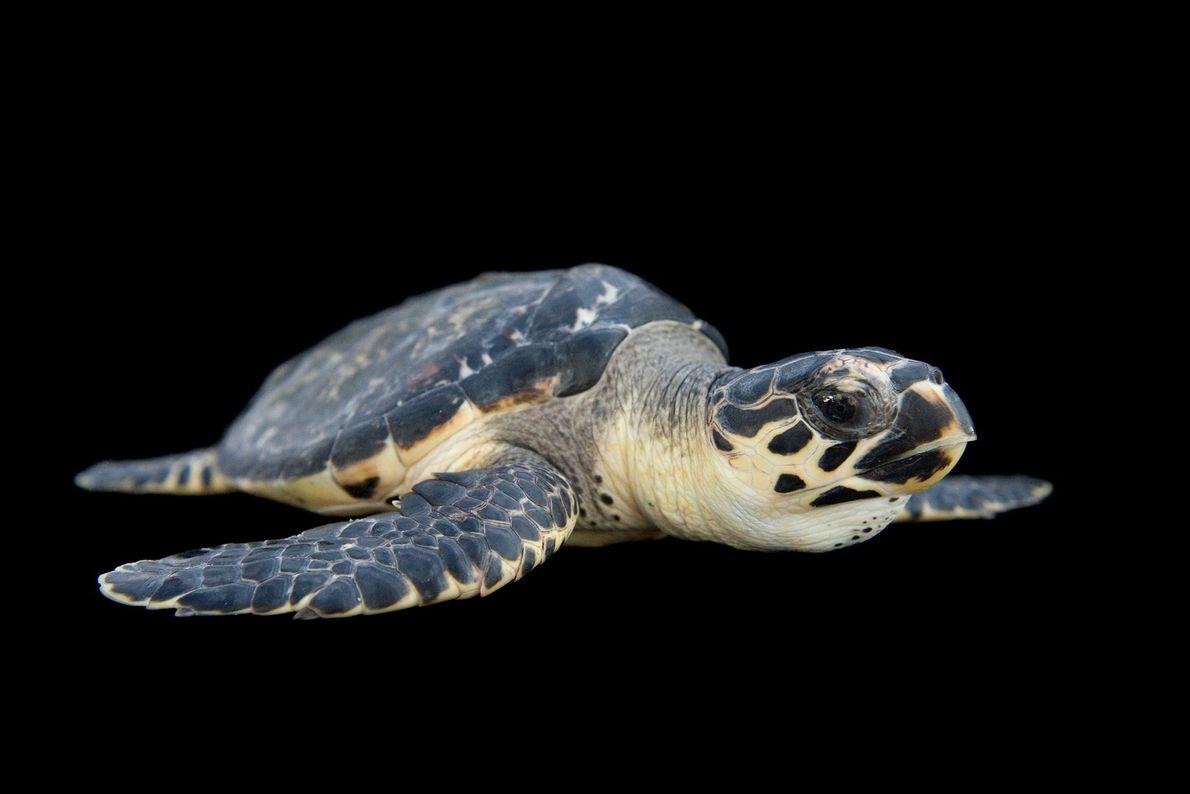 Las tortugas de carey figuran en la Lista Roja de la UICN como una especie en ...