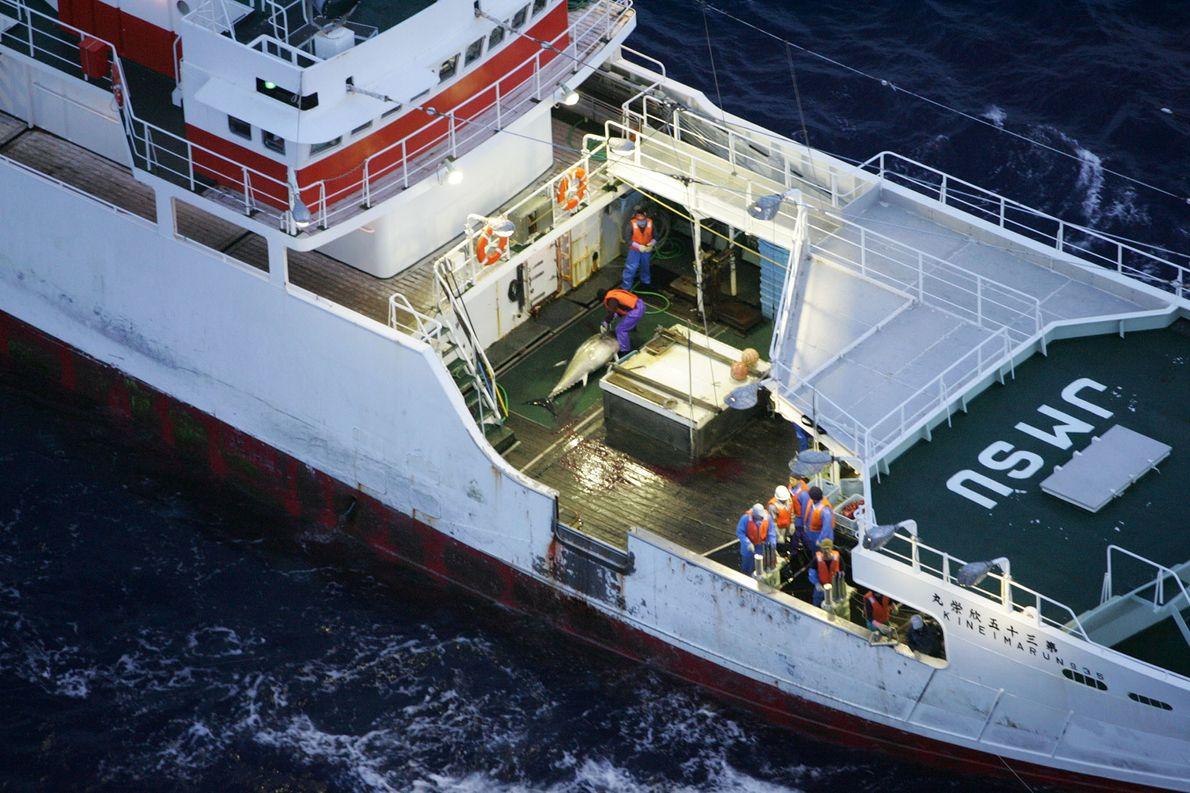 Una operación de Greenpeace se pone en marcha para salvar a los atunes azules, una especie ...