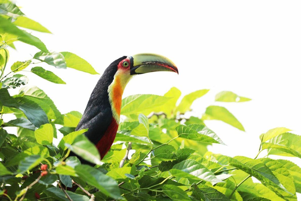 """Tucán Pico Verde, en San Sebastián de la Selva, Provincia de Misiones. """"Habita selvas, capueras, sabanas ..."""