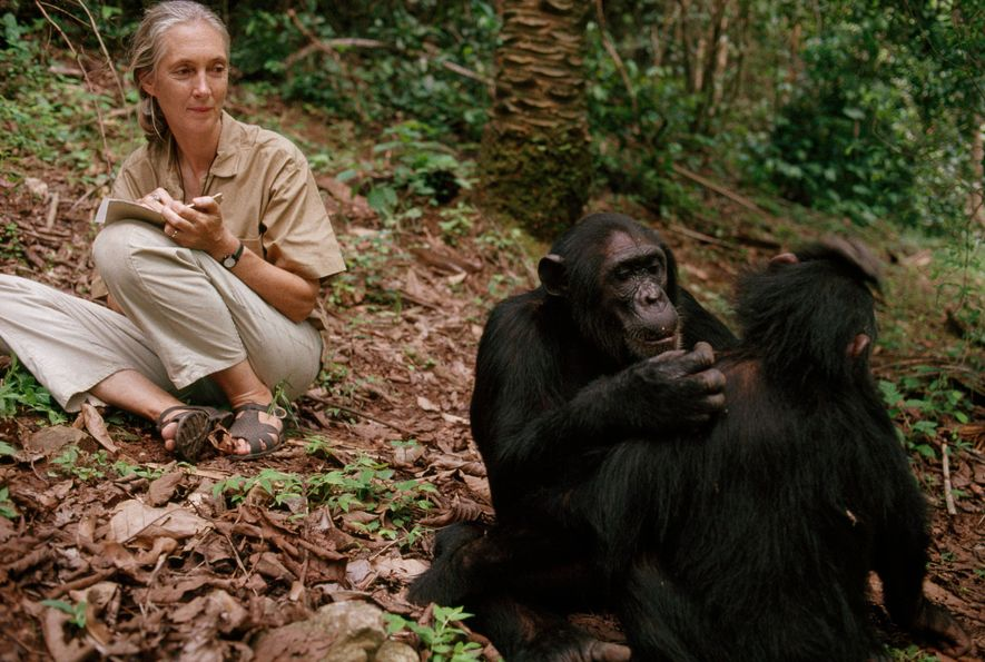 Jane Goodall observa chimpancés en el Gombe Stream National Park, Tanzania, 1990.