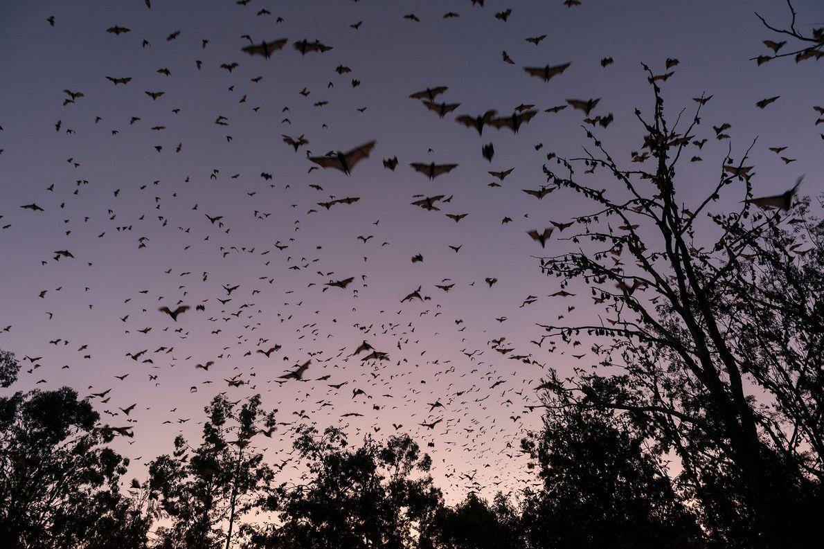 Un grupo de pequeños zorros voladores rojos vuelan al atardecer en las tierras altas de Australia. ...