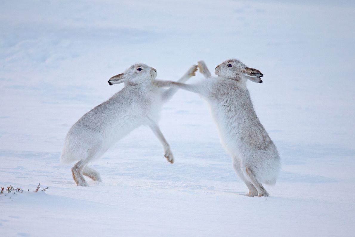 Dos liebres de montaña luchan en Escocia. Esta especie está adaptada al frío. Cuando se quedan ...