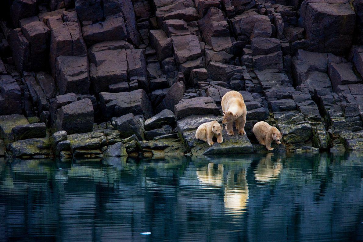 Una madre oso polar y sus crías paradas sobre una costa rocosa en Svalbard. Los osos ...
