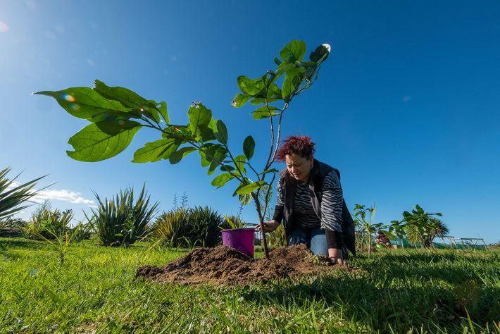 Sheridan Waitai riega un kaikōmako, uno de los 80 que plantó junto con otros miembros Ngāti ...