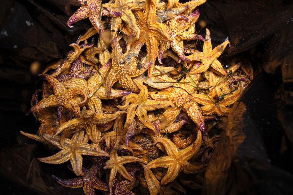 Estrella marina del Pacífico norte. Port Phillip, Australia.