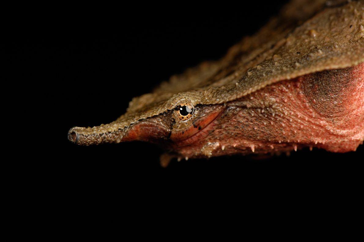 La tortuga matamata (Chelus fimbriatus) vive en Sudamérica y habita principalmente en estanques de poca profundidad ...