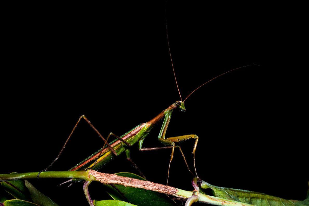 Una hembra del género Coptopteryx, que se encuentra en un campo único de gran altitud al ...