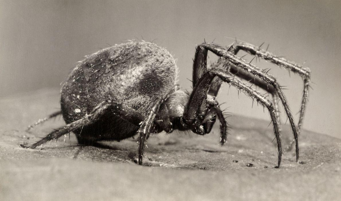 Hay más de 4000 especies de araneidos alrededor del mundo. Esta especie prefiere hábitats húmedos para ...