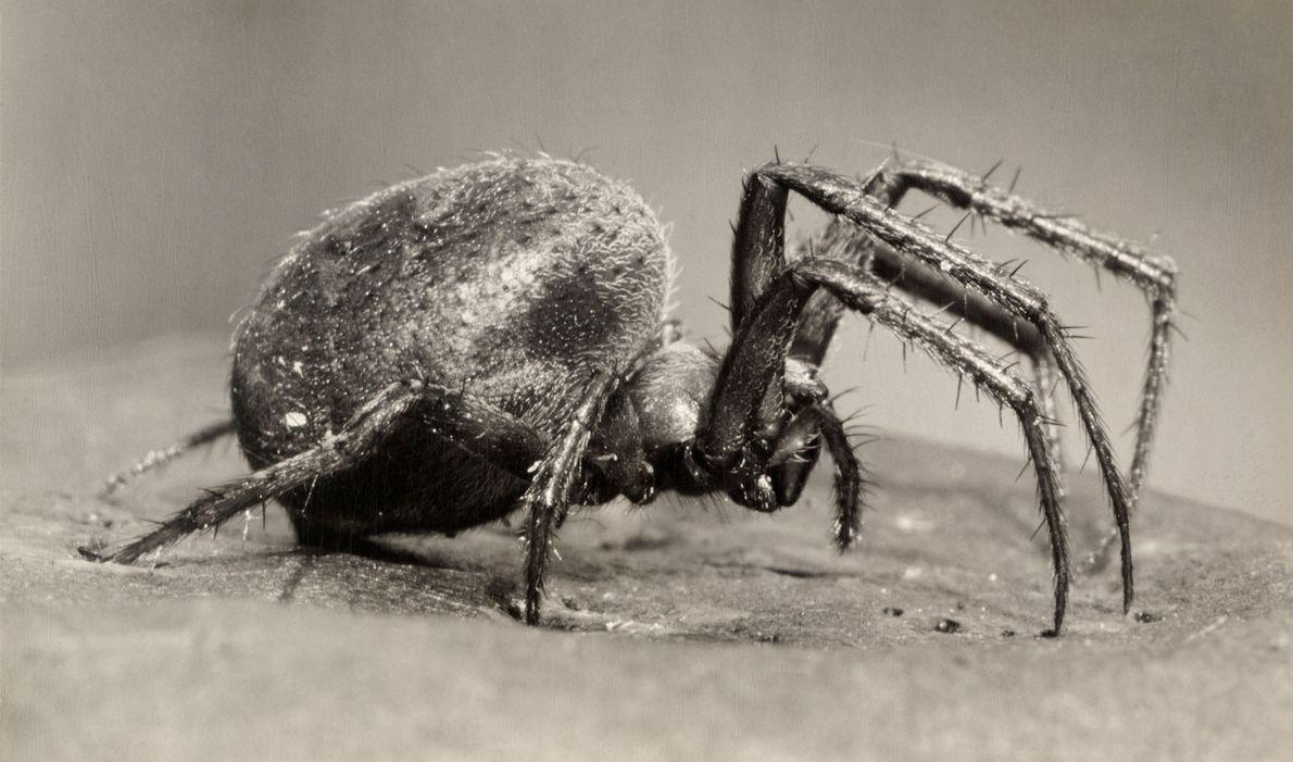 Hay más de 4000 especies de araneidos alrededor del mundo. Esta especie prefiere hábitats húmedos para …