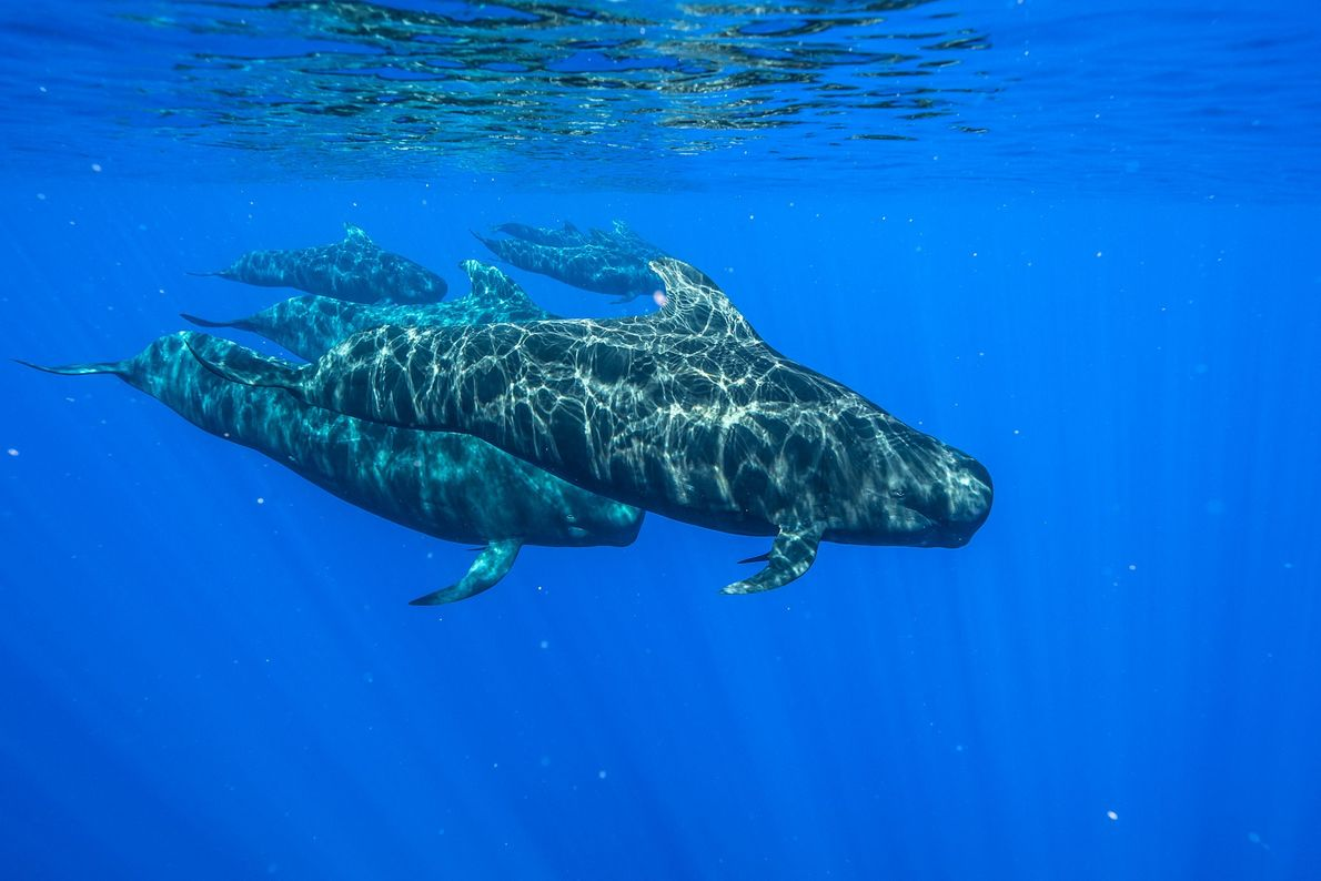 Las belugas, también conocidas como ballenas blancas (en la imagen, un animal del Parque Marino de ...