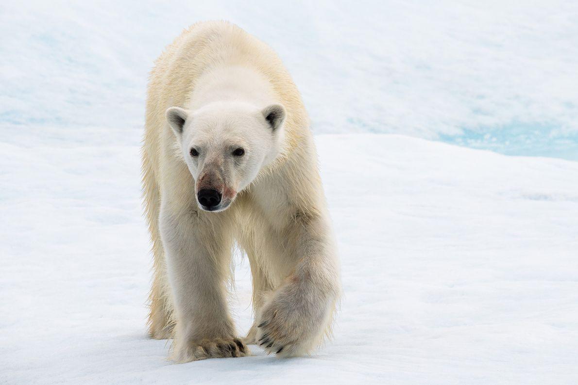 Un oso polar joven atraviesa el hielo en Nunavut, Canadá. El fotógrafo recuerda el momento en ...
