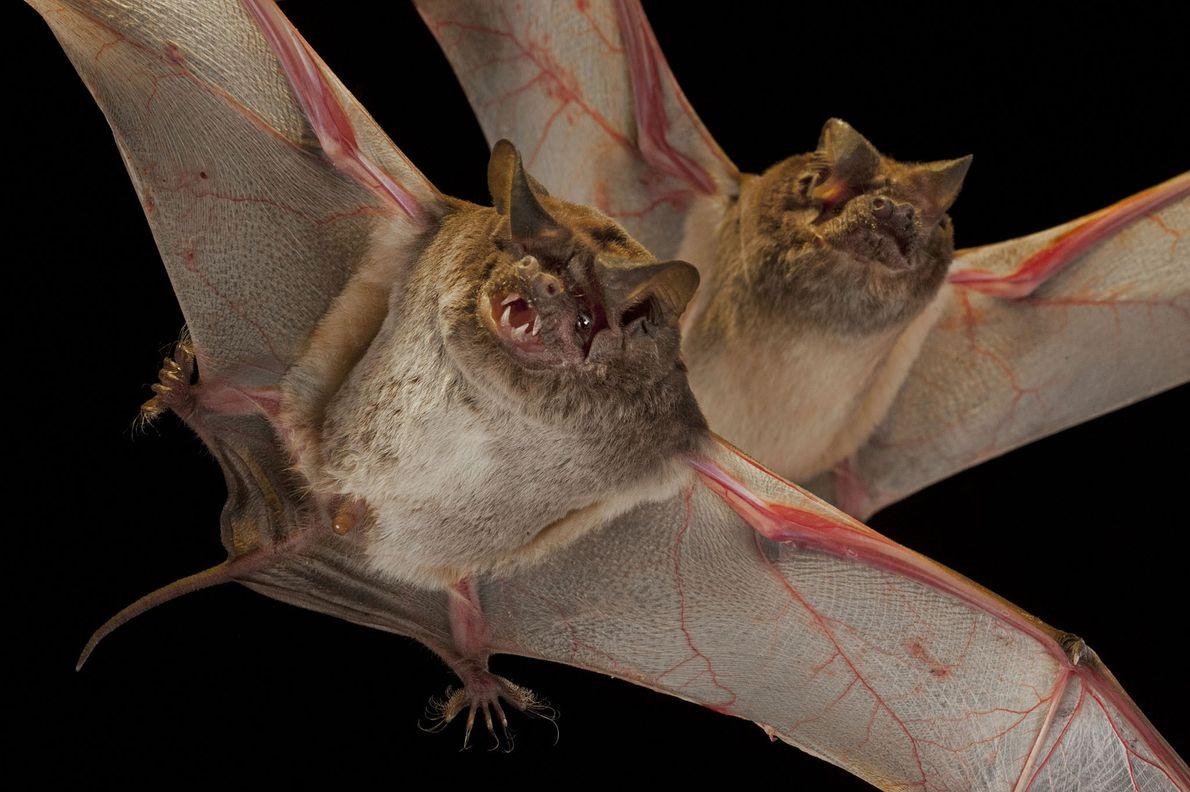 Un murciélago de la familia de los molósidos en el Chitengo Camp en GNP (parque nacional ...