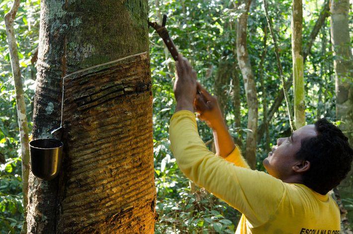 El caucho natural todavía es cosechado de manera tradicional por los indígenas y por la gente ...