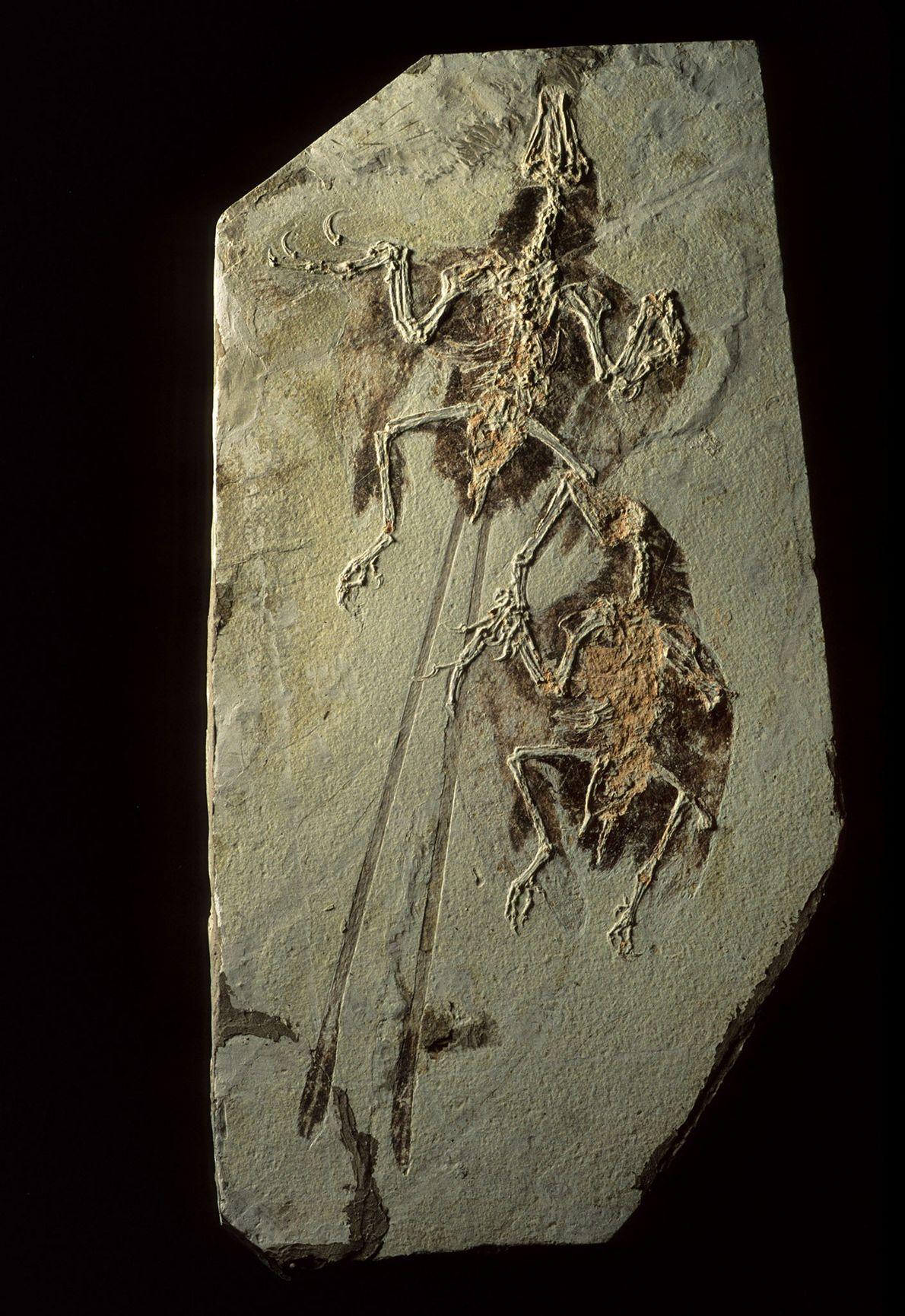 Los yacimientos fósiles de Liaoning, China, no solo preservan dinosaurios, sino también aves primitivas, como estos ...