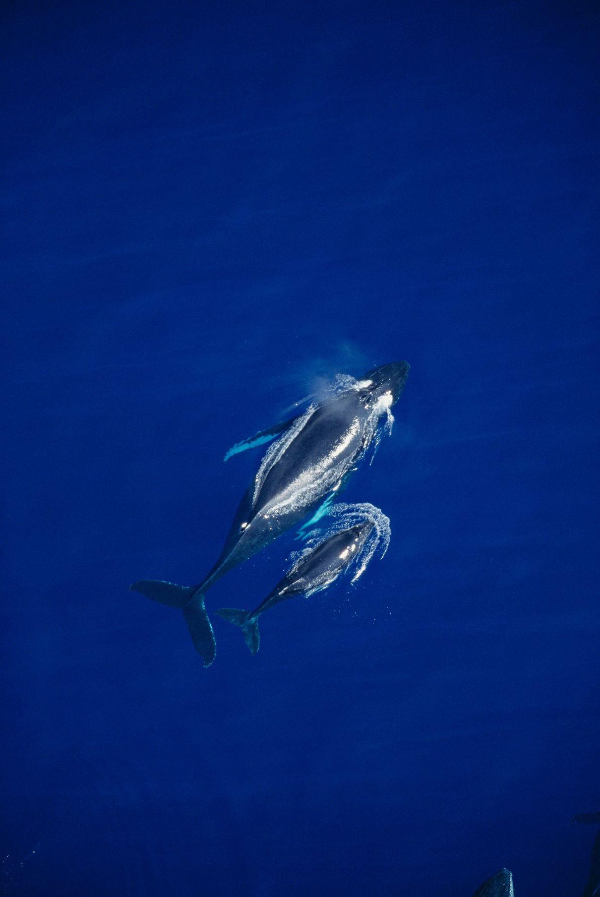 Dos ballenas nadan juntas cerca de Maui, Hawai.