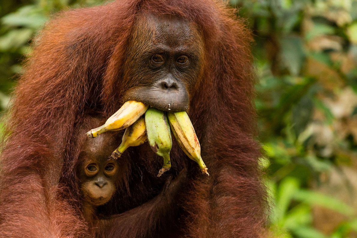 Un orangután de Borneo multifunción carga a su bebé, con la boca llena de alimentos, sobre ...