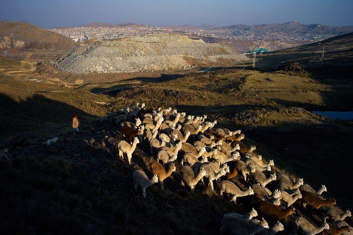 Un pastor conduce alpacas y llamas de regreso al hogar en Botadero de Rumiallana, en las ...