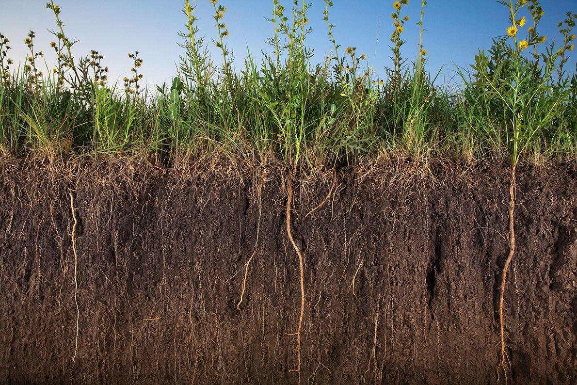 Una variedad de praderas y girasoles hunden sus raíces en el suelo cerca de Salina, Kansas. ...
