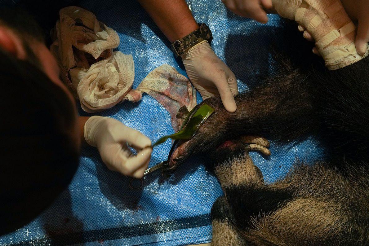Los veterinarios del centro tratan a un oso hormiguero hembra, Valentina, cuyas patas sufrieron muchas quemaduras. ...