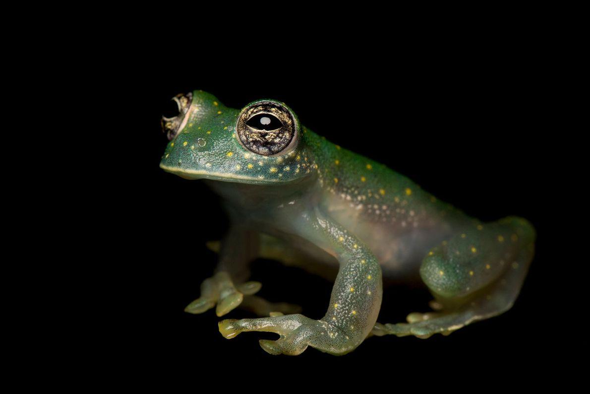 """Una rana de cristal """"Sachatamia albomaculata"""" en el zoo de Atlanta."""