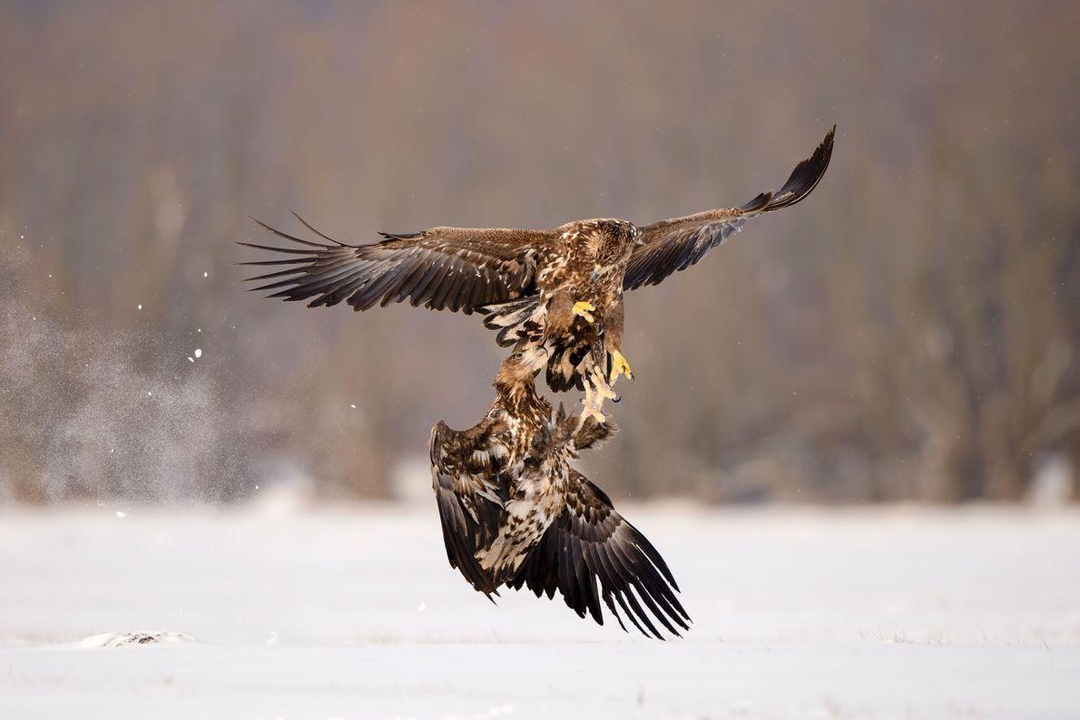 Dos águilas de cola blanca colisionan en Polonia.