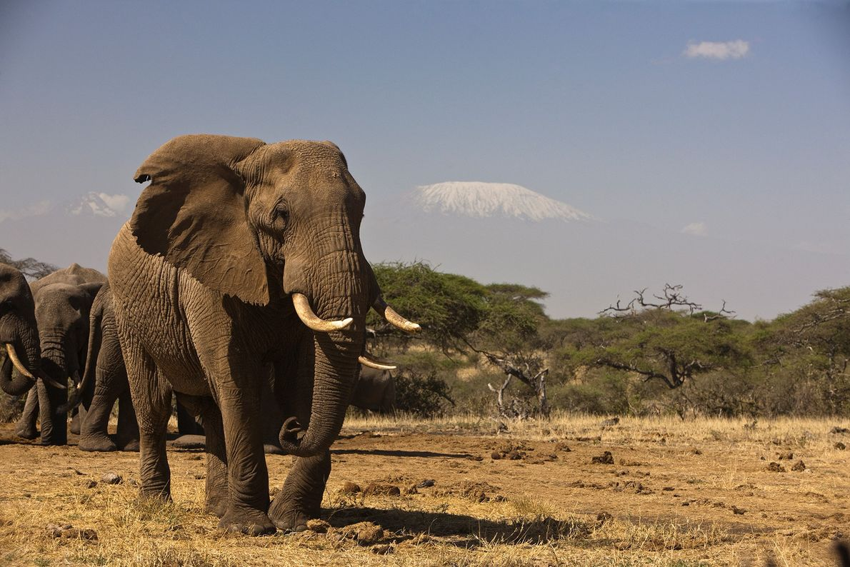 Elefantes africanos caminando por las praderas con el Kilimanjaro de fondo.