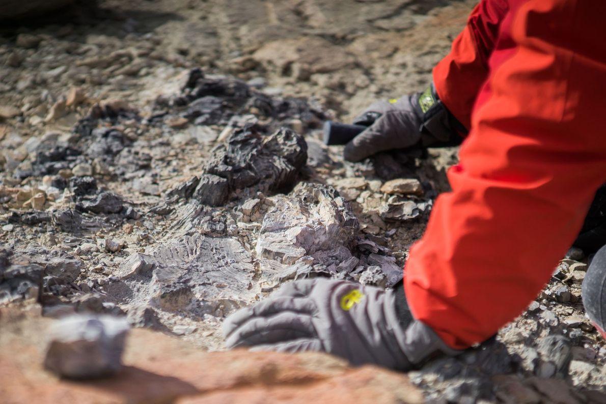 Si bien el lugar había sido visitado previamente por otros geólogos, Collinson Ridge produjo una cantidad ...