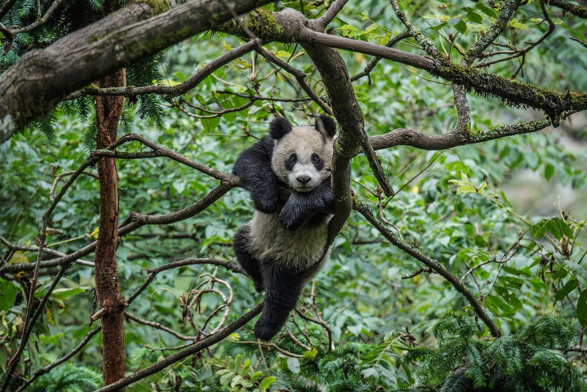 Un panda gigante juega en las copas de los árboles dentro de un recinto en el ...